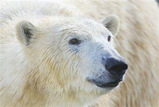 Russie- un ours blanc peinturluré alarme les scientifiques