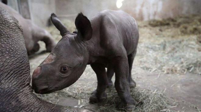 Naissance d'un petit rhinocéros aux USA- Chaque bébé compte pour sauver l'espèce
