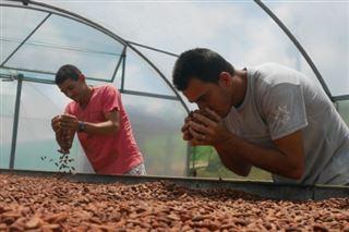 Brésil- le cacao bio commence à sortir des petits paysans de la misère