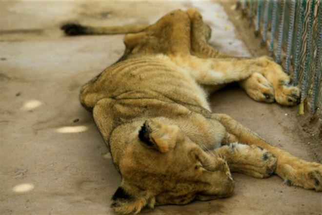Soudan- l'un des cinq lions mal-nourris meurt dans un parc zoologique