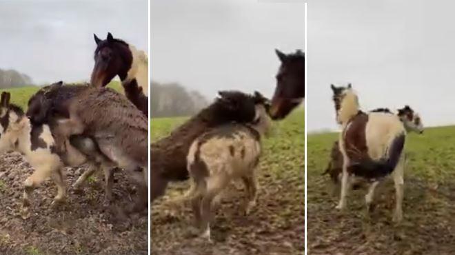 Géraldine filme ses chevaux venir à la RESCOUSSE de l'un de ses ânes attaqués- C'est tellement puissant