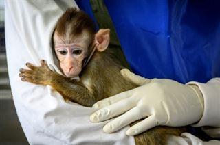 Coronavirus- la Thaïlande entre dans la course au vaccin avec des tests sur des macaques
