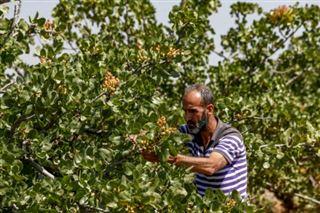En Syrie, la culture traditionnelle des pistaches reprend des couleurs