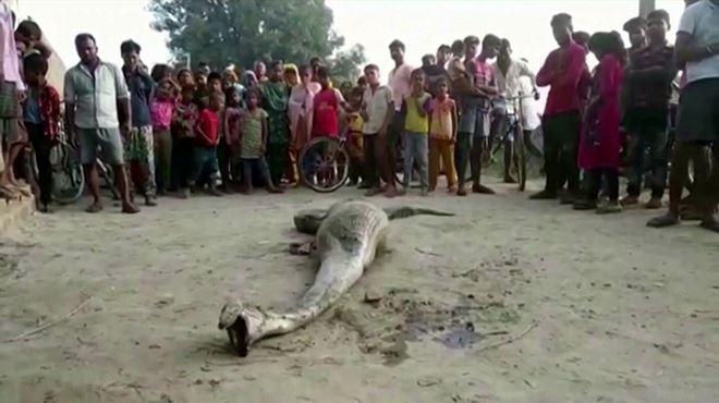 Un python secouru en Inde- il a avalé une énorme proie