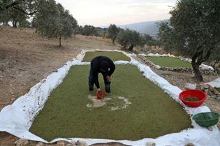 Syrie- à Idleb, une plante providentielle pour les éleveurs