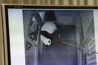 Des jumeaux pandas sont nés dans un zoo de Tokyo