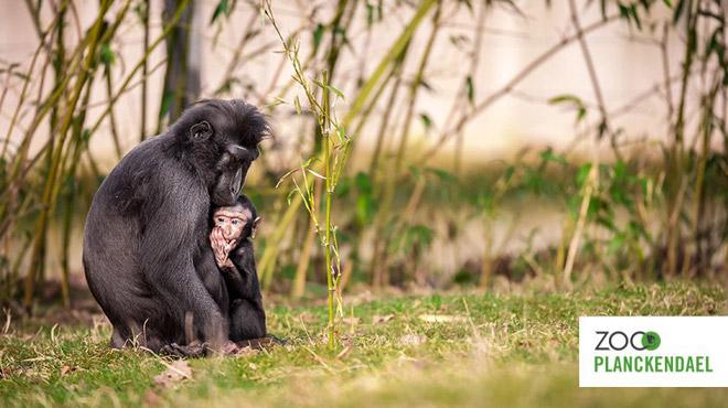Évasion du macaque à crête de Planckendael: le singe a été capturé