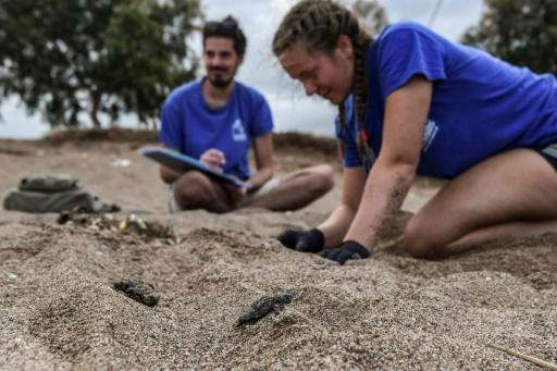 Les nouveaux-nés tortues de mer entament un dangereux voyage, au péril de leur vie (photos)