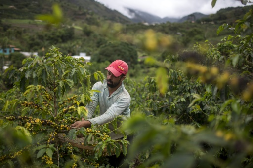 Consommation en hausse mais cours déprimés: les paradoxes du marché du café