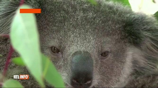 Les koalas connaissent un déclin